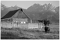 Bison in front of barn, with Grand Teton in the background, sunrise. Grand Teton National Park, Wyoming, USA. (black and white)