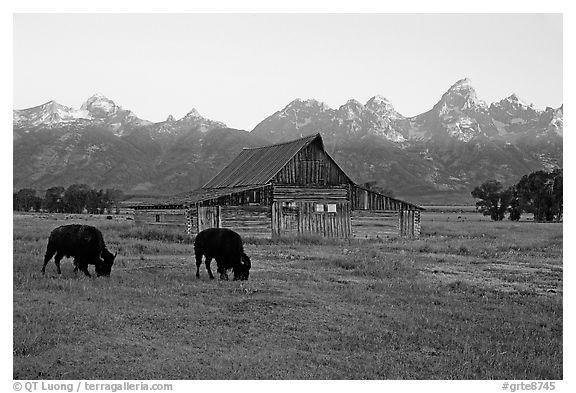 Bisons in front of barn below Teton range. Grand Teton National Park (black and white)