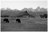 Bisons in front of barn below Teton range. Grand Teton National Park, Wyoming, USA. (black and white)