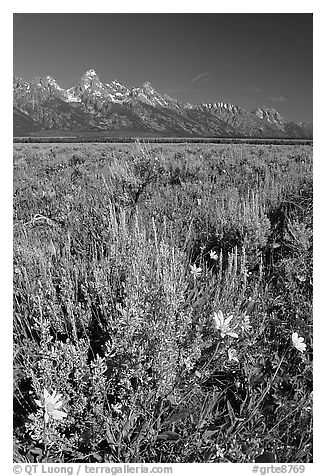 Arrowleaf balsam root and Teton range, morning. Grand Teton National Park (black and white)