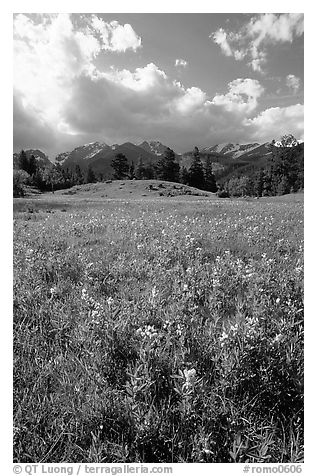 Yellow summer flowers in Horseshoe park. Rocky Mountain National Park (black and white)