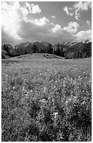 Yelloe summer flowers in Horseshoe park. Rocky Mountain National Park, Colorado, USA. (black and white)