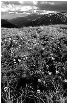 Alpine flowers on the tundra along Trail Ridge road. Rocky Mountain National Park, Colorado, USA. (black and white)