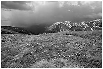Alpine wildflowers and summer storm along Trail Ridge road. Rocky Mountain National Park, Colorado, USA. (black and white)