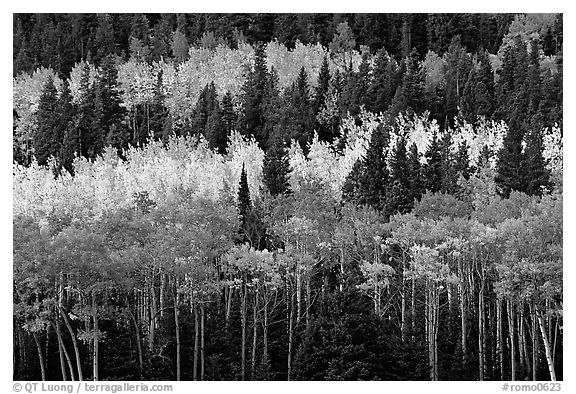 Aspens mixed with  conifers. Rocky Mountain National Park (black and white)