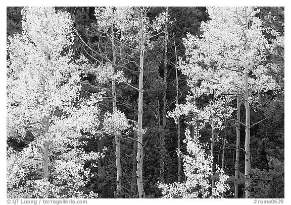 Yellow aspens in forest. Rocky Mountain National Park (black and white)