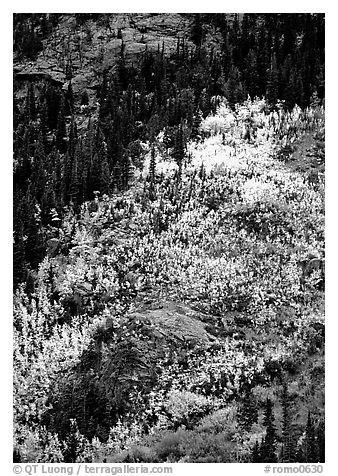 Distant view of bright aspens on mountainside. Rocky Mountain National Park (black and white)