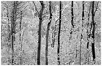 Yellow aspens with fresh snow. Rocky Mountain National Park ( black and white)