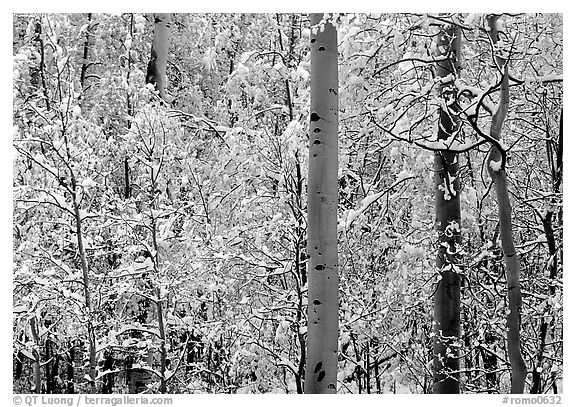 Yellow aspens with fresh snow. Rocky Mountain National Park (black and white)