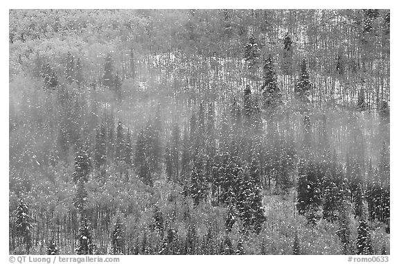Aspens, spruce, snow, and fog. Rocky Mountain National Park (black and white)