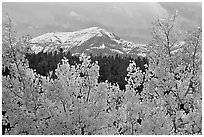 Orange aspens and blue mountains. Colorado, USA (black and white)