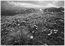 Yellow alpine wildflowers, tundra and mountains. Rocky Mountain National Park, Colorado, USA. (black and white)