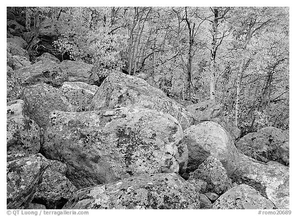 Lichen-covered boulders and yellow aspens. Rocky Mountain National Park (black and white)