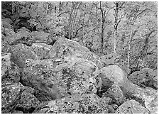 Lichen-covered boulders and yellow aspens. Rocky Mountain National Park ( black and white)