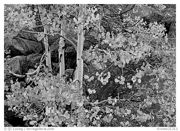 Colorful Aspen and boulders. Rocky Mountain National Park (black and white)