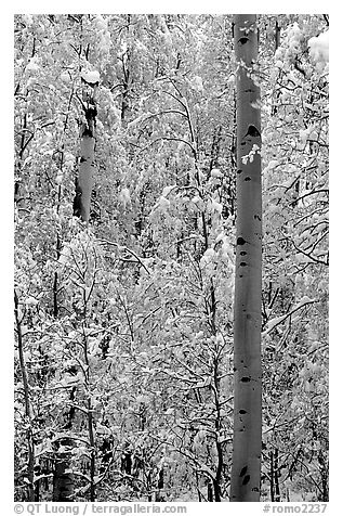 Aspens in fall foliage and snow. Rocky Mountain National Park (black and white)