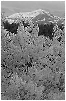 Orange aspens and blue mountains. Colorado, USA ( black and white)