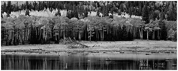 Aspens in autum foliage reflected in pond. Rocky Mountain National Park (Panoramic black and white)