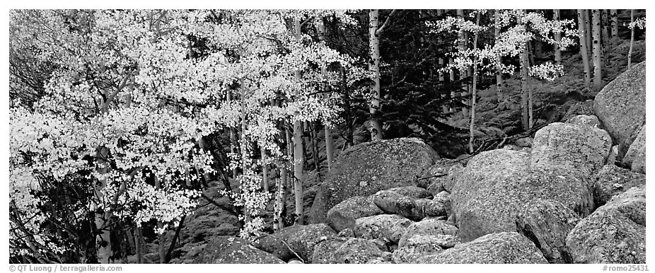 Fall scenery with yellow aspens and boulders. Rocky Mountain National Park (black and white)