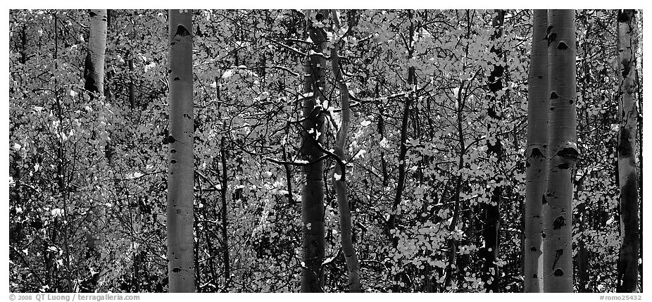 Aspen forest in autumn with a dusting of snow. Rocky Mountain National Park (black and white)
