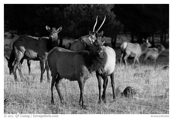 Elks. Rocky Mountain National Park (black and white)