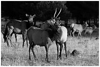 Elks. Rocky Mountain National Park, Colorado, USA. (black and white)