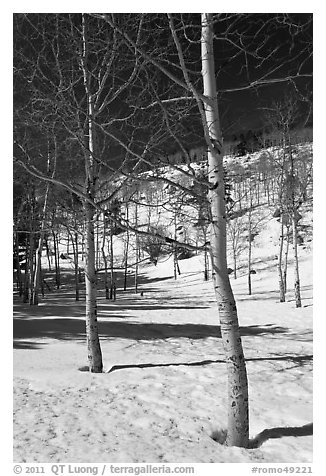 Aspen trees in winter. Rocky Mountain National Park (black and white)