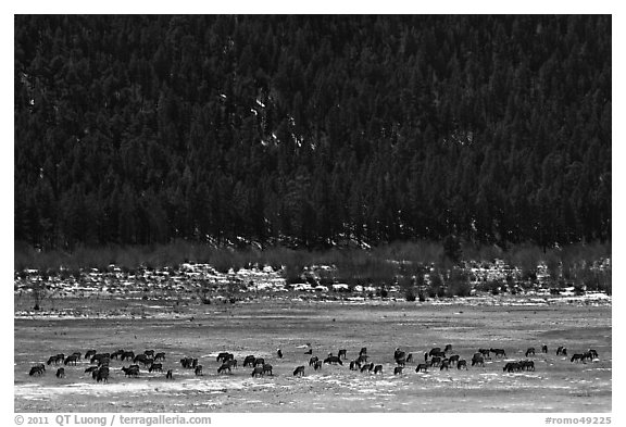 Elk Herd. Rocky Mountain National Park (black and white)