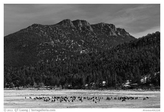 Elk Herd and  Gianttrack Mountain, late winter. Rocky Mountain National Park (black and white)