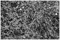 Close-up of grasses, wildflowers, fallen pine cones. Rocky Mountain National Park, Colorado, USA. (black and white)