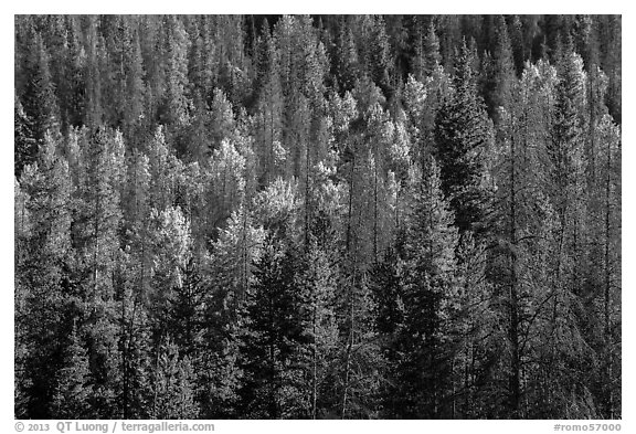 Evergreens and aspen in Kawuneeche Valley. Rocky Mountain National Park (black and white)