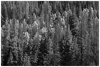 Evergreens and aspen in Kawuneeche Valley. Rocky Mountain National Park, Colorado, USA. (black and white)