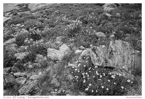 Wildflowers and boulders. Rocky Mountain National Park (black and white)
