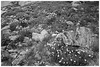Wildflowers and boulders. Rocky Mountain National Park, Colorado, USA. (black and white)