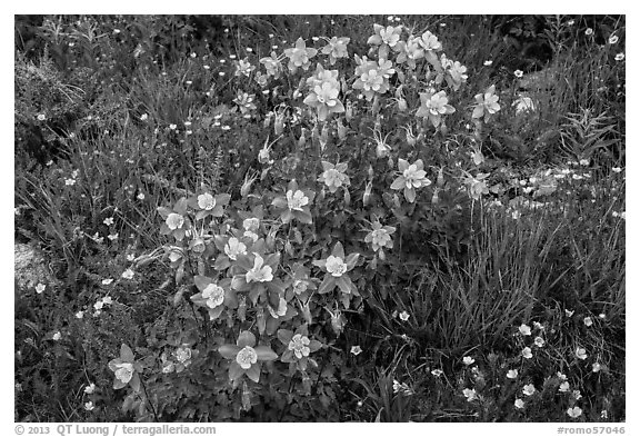 Columbine flowers. Rocky Mountain National Park (black and white)