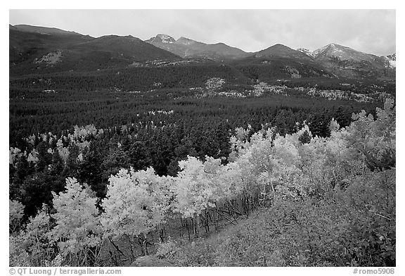 Scrub and yellow aspens in Glacier basin, fall. Rocky Mountain National Park (black and white)