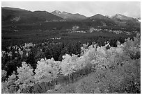 Scrub and yellow aspens in Glacier basin, fall. Rocky Mountain National Park, Colorado, USA. (black and white)