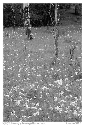Wildflowers and trees in forest. Rocky Mountain National Park (black and white)