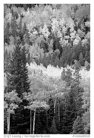 Aspens in various shades of fall colors. Rocky Mountain National Park (black and white)