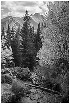 Stream, autumn foliage, and Longs Peak. Rocky Mountain National Park ( black and white)