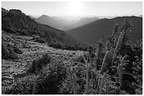 Krumholtz trees at sunrise. Rocky Mountain National Park ( black and white)