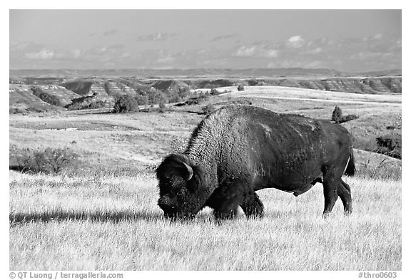 Bison grazing in  prairie. Theodore Roosevelt National Park (black and white)