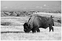 Bison grazing in  prairie. Theodore Roosevelt National Park ( black and white)