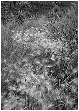 Barley grasses with badlands in background, North Unit. Theodore Roosevelt National Park ( black and white)