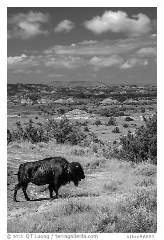Buffalo and badlands landscape in summer. Theodore Roosevelt National Park (black and white)