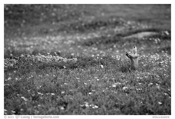 Prairie dog in meadow carpeted with flowers. Theodore Roosevelt National Park (black and white)