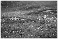 Prairie dog in meadow carpeted with flowers. Theodore Roosevelt National Park ( black and white)