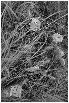 Prairie grasses and blooming prickly pear cactus. Theodore Roosevelt National Park, North Dakota, USA. (black and white)