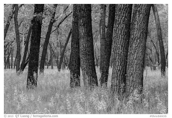 Cottonwood grove. Theodore Roosevelt National Park (black and white)