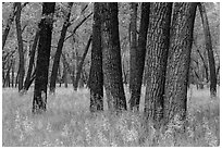 Cottonwood grove. Theodore Roosevelt National Park ( black and white)